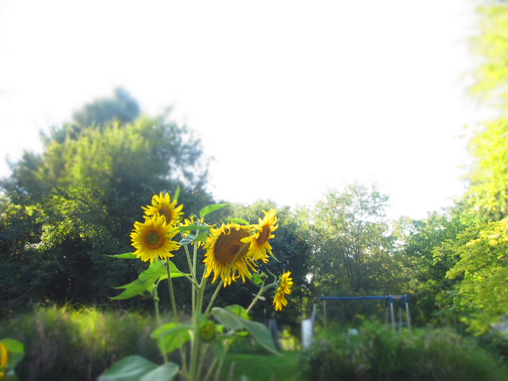 Sunflowers!  You may remember them from this post.